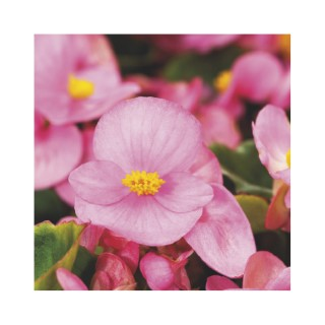 Bégonia à massif rose. Le pack de 6 plants 337962