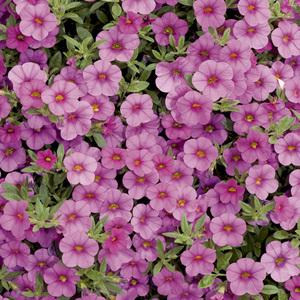 Calibrachoa duo rose & blanc. Le pack de 6 plants 338149
