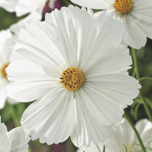 Cosmos. Le pack de 6 plants 338150