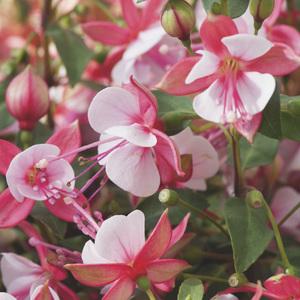 Fuchsia rose. Le pack de 6 plants 338154
