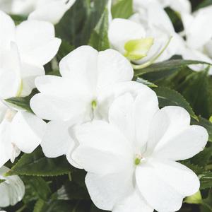 Impatiens de Nouvelle Guinée blanche. Le pack de 6 plants 338157