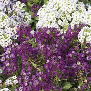 Alysse odorante. Le pack de 6 plants 338176