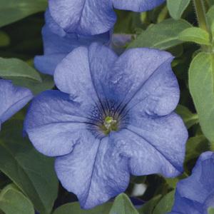 Pétunia retombant bleu. Le pack de 6 plants 338303