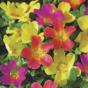 Pourpier à fleurs simples. Le pack de 6 plants 338340