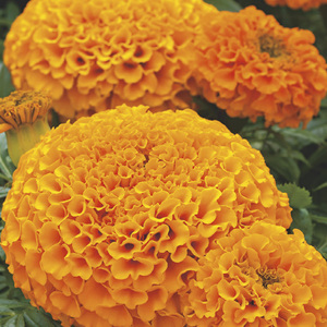 Rose d'Inde orange. Le pack de 6 plants 338343