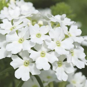 Verveine retombante blanche. Le pack de 6 plants 338839