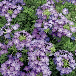 Verveine retombante bleu clair et foncé. Le pack de 6 plants 338913