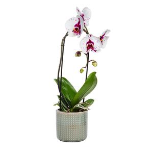 Orchidée Phalaenopsis avec son cache pot céramique 24 cm 339105