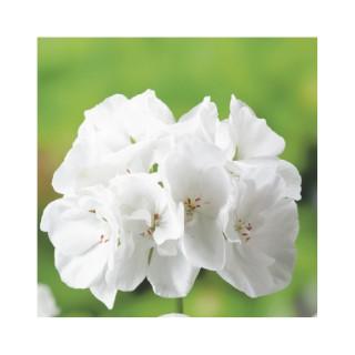 Géranium zonal blanc. Le pack de 6 plants 339126
