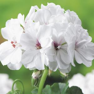 Géranium lierre double blanc. Le pack de 6 plants 339128