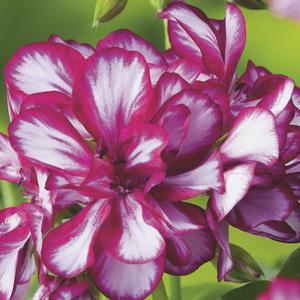 Géranium lierre double bicolore. Le pack de 6 plants 339129