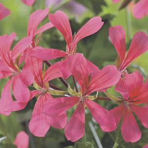Géranium lierre simple rose. Le pack de 6 plants 339160