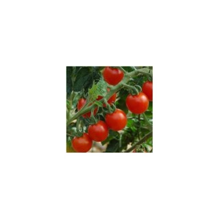 Tomate Cerise ronde . La barquette de 3 plants 341630
