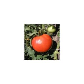 Tomate ronde Pyros. La barquette de 3 plants 341632