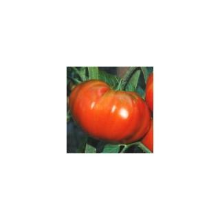Tomate côtelée Marmande. La barquette de 3 plants 341633