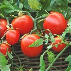 Tomate cerise allongée Tumbling Tom Red. La motte 341798