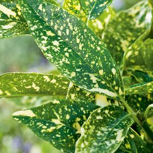 Aucuba Japonica Crotonifolia jaune en pot de 3 L 342605