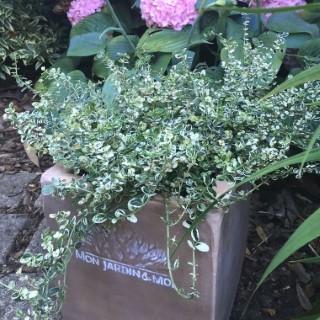 Euonymus Fortunei Silver Carpet blanc en pot de 4 L 342620
