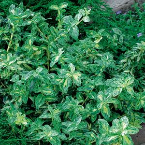 Euonymus Golden Harlequin 342621