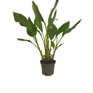 bananier lasiocarpa en pot de 5 litres