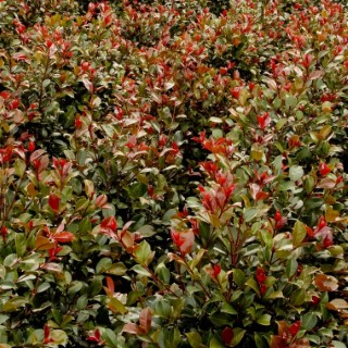 Syzygium Big Red rouge en pot de 4 L 342638
