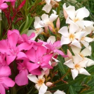 Laurier rose (Nerium). Le pot de 2 litres 342892