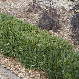 Prunus Laurocerasus Gajo en pot de 4 L 343211
