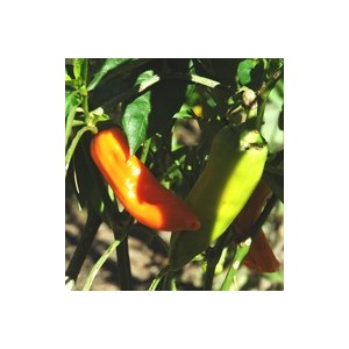Piment Doux Des Landes. Le pot de 10,5 cm 47167