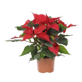 Poinsettia pailleté rouge en pot Ø 9 à 10,5 cm 346591
