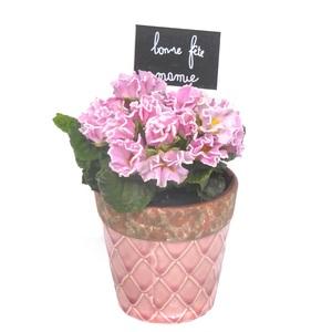 Primevère à fleurs doubles. Avec cache pot rose 347564
