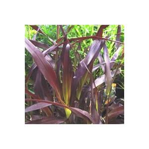 Pennisetum pourpre. Le pot de 2,5 litres 479592