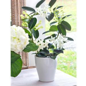 jasmin en arceau plantes fleuries maison botanic. Black Bedroom Furniture Sets. Home Design Ideas