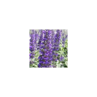 Sauge farineuse bleue en pot de 1 L Ø 13-15 350285