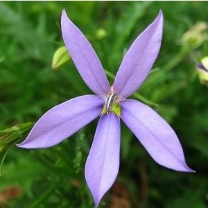 Laurentia. Le pot de 10.5 cm 211041