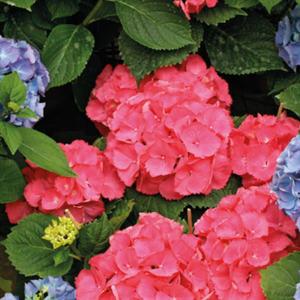 Hortensia avec son cache-pot coloris au choix H 35/40 x Ø 14 cm 355020