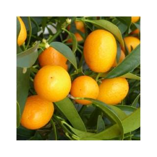 Kumquat Mini tige en conteneur de 2 L 356400