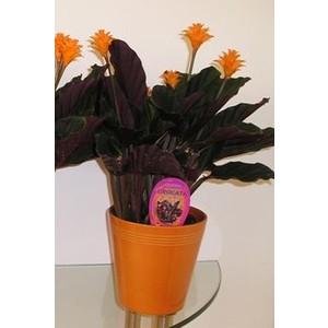 Calathea Crocata et cache-pot 363696