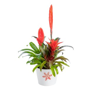 BROMELIACEE ARRANGEMENT 450558