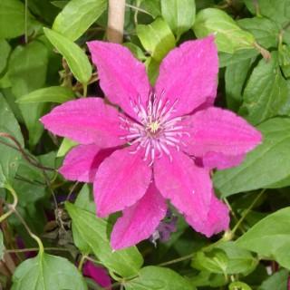 Clématite variée à floraison estivale. Le pot de 10 litres 366580