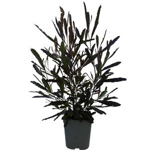 Dodonea Viscosa vert en pot de 3 L 366713