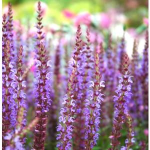 Salvia nemoros multicolore en pot de 2 L 366802