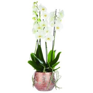 Phalaenopsis Duetto avec cache pot 367039