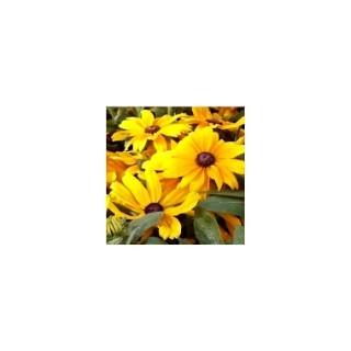 Rudbeckia vivace multicolore en pot de 1 L 367616