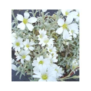 Cerastium Tomentosum. Le pot de 1,6 litre 367631