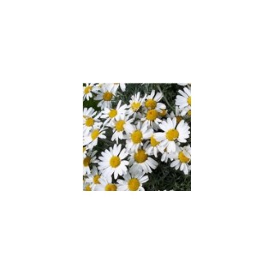 Rhodanthemum blanc en pot de 1 L 367647