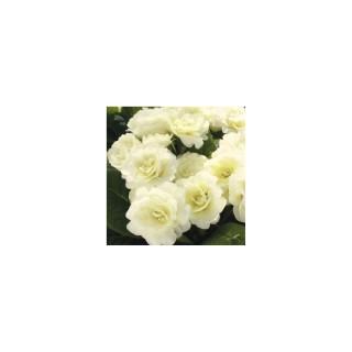 Primula belarina vanilla blanche en pot de 1 L 367650
