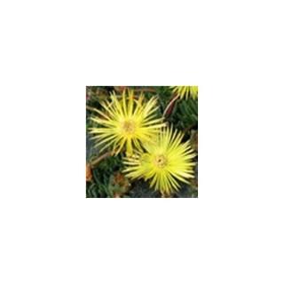 Cephalophyllum. Le pot de 2 litres 370459