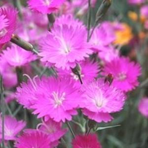 Oeillet Carnelia. Le pot de 2,5 litres 370524