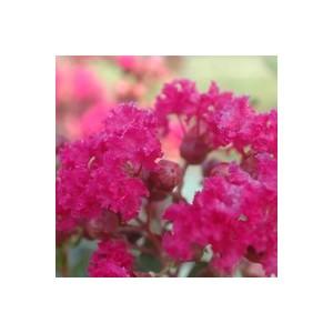 LAGERSTROEMIA INDICA CHARMS ®  FUSCHIA D'ETE ®.Le pot de 3L 37069