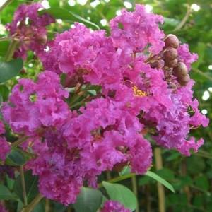 LAGERSTROEMIA INDICA CHARMS ®  VIOLET D'ETE ®.Le pot de 3L 37072